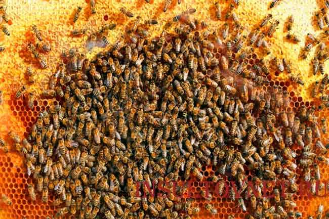 Лечение мертвыми пчелами