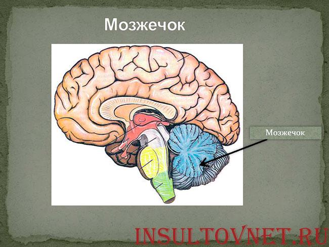 анатомия мозжечка