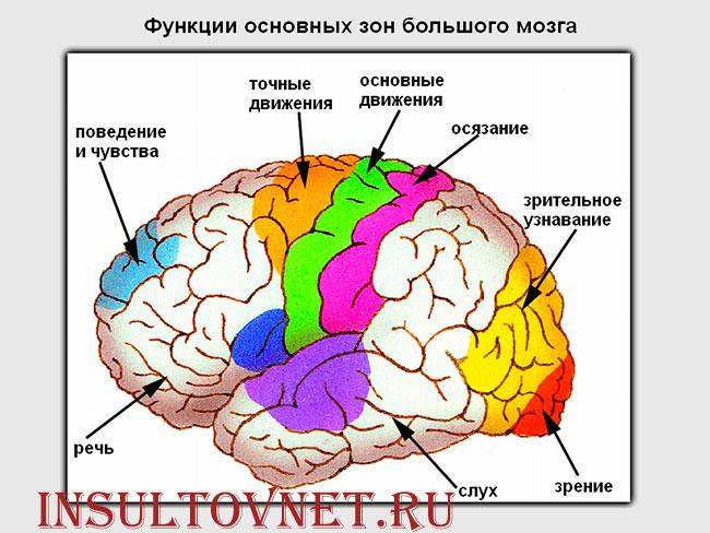 функции коры головного мозга